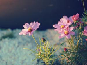 Pink wild daisies