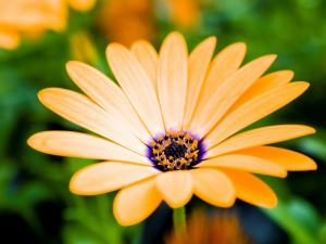 Yellow gerbera with interior purple