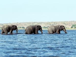 Three elephants walking in water