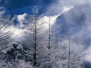 Treetops snow covered