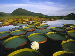 Water Lilies in the Pantanal Matogrossense National Park (Brazil)