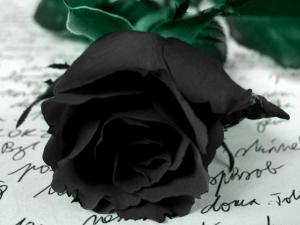 A black rose