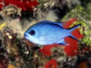 Blue fish in a coral reef