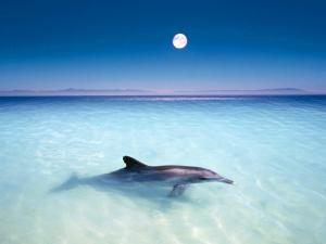 Dolphin with the full moon in background