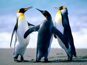 Trio of penguins