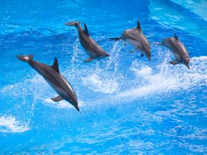 Dolphins jumping in group