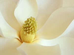 Interior of a white magnolia