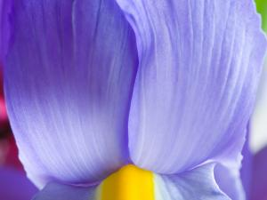 Iris of blue petals