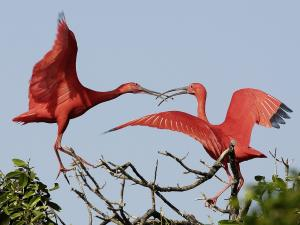 Two scarlet ibis