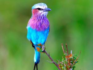 Blue bird with purple colors