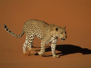 Leopard and its shadow