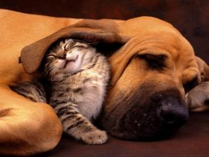 Kitten under the big ear of a dog