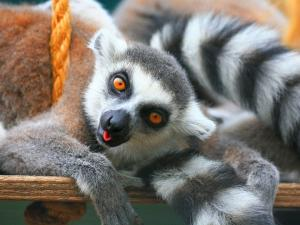 Lemur sticking out his tongue