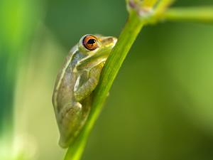 Green frog on a branch, photographed in North Port (Florida)