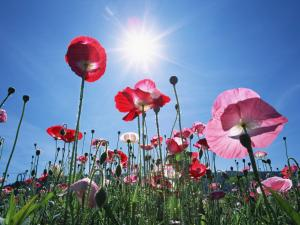 Poppies under a sunny blue sky