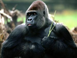 Gorilla with a twig