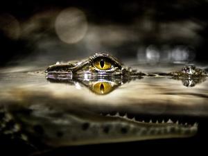 Head of a vigilant crocodile