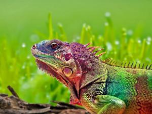 Iguana showing infinity of colors