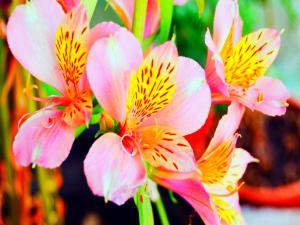 Alstroemerias (Peruvian Lily)
