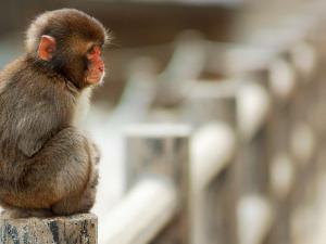 Sad macaque