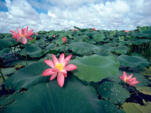 Pinkish lotus flowers