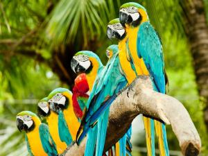 Macaws aligned in a branch