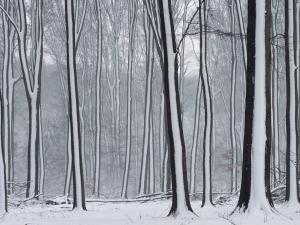 Lines of snow on the tree trunks