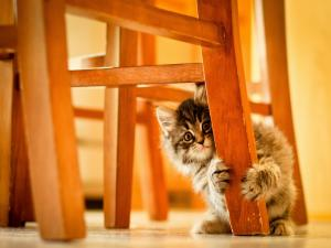Kitten hidden behind a chair leg