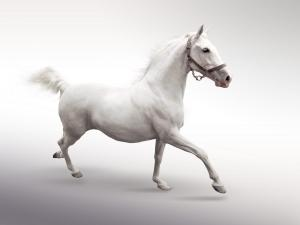 White horse in motion