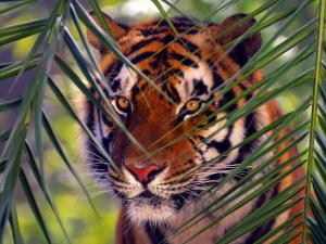 Tiger camouflaged among leaves