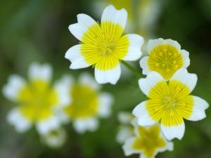 White flowers with a yellow circle