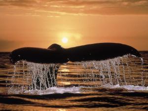 Whale tail peeking to the sea surface
