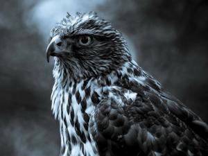 A majestic hawk