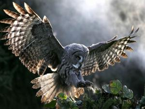Owl with outstretched wings
