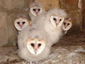 Chicks of barn owl
