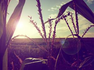 Wheat to backlight