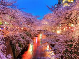 Water channel flanked by cherry blossoms