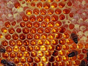 Bees in a honeycomb full of honey