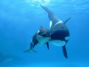 Family of killer whales