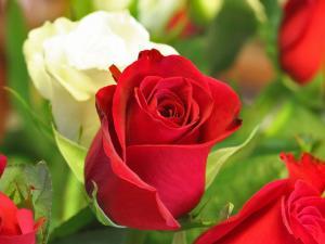 Bud roses