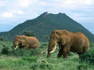 Pair of adult elephants