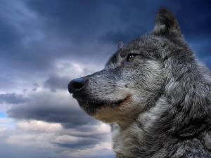Wolf under a gray sky