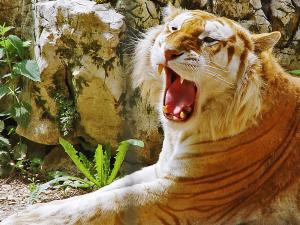 Blond tiger