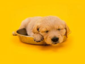 Puppy asleep over his food dish