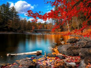 Maple of red leaves at shores of Lake Oxtongue (Ontario, Canada)
