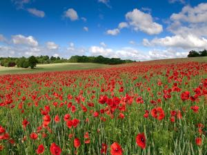 Poppy Field in Hertfordshire, England
