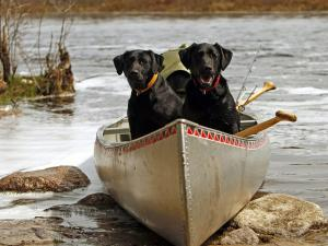 Two dogs in a kayak