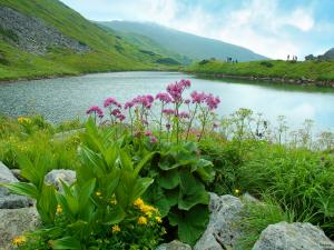 Lake and wildflowers in the Carpathian Mountains