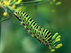 Green caterpillar with black and orange mottled