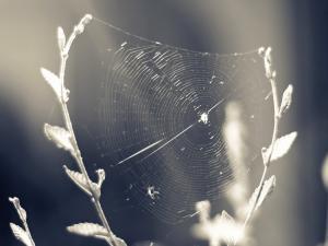Cobweb between two twigs